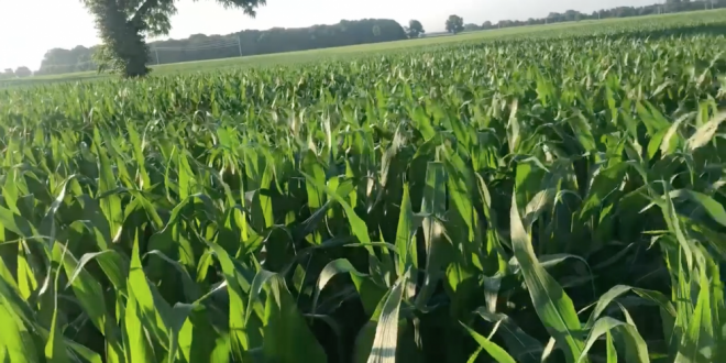 Dave McCowan Midseason Corn Walkthrough