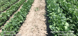 BigSweetYield Soybean and Lawn Comparisons